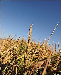 Plantación de arroz a punto de ser cosechado en los campos de Uruguay