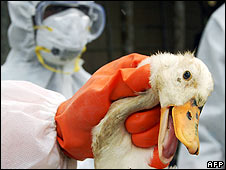 Duck infected with bird flu