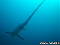 Tiburón zorro (Foto: Orca Divers)