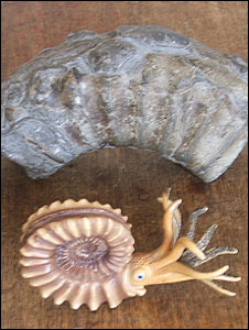 Ammonites fossil (back) model of the ammonites creature (front)