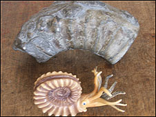 Ammonite fossil (back) ammonite sea creature model (front)