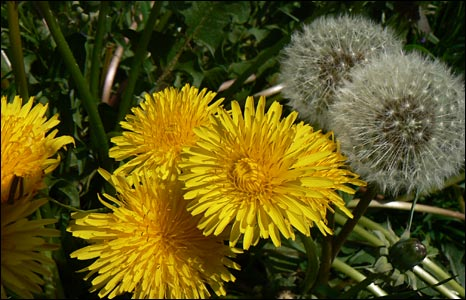 Dandelions by Dave Hitchins