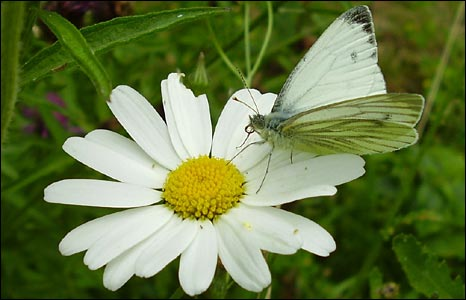 Daisy with butterfly by Marilyn Cox