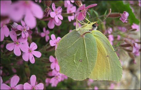Brimstone butterfly feeding, by Paul Munton