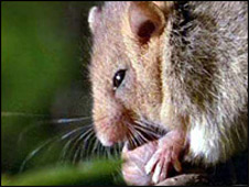 Hazel dormouse eating a nut