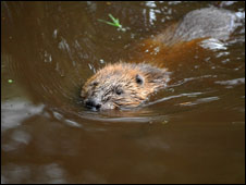 Beaver swimming. Copyright Royal Zoological Society of Scotland