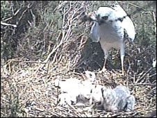 Hen Harrier chicks in Northumberland