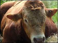 A bull [Generic image]