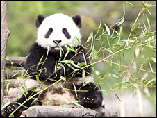 Giant panda - Robyn Rowles Photography