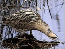 Bittern, picture courtesy of RSPB images