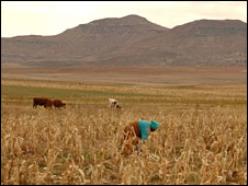 Women tending corn in Lesotho's central highlands