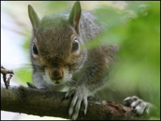 Grey squirrel (generic)