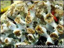 Coral. Image: Riccardo Rodolfo-Metalpa