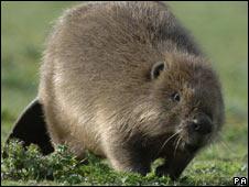 A beaver - generic