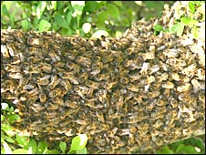 Swarm of bees in the school grounds