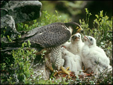 Peregrine falcon and chicks (Pic: RSPB)