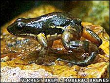 Diseased frog. Image: Forrest Brem / Roberto Brenes