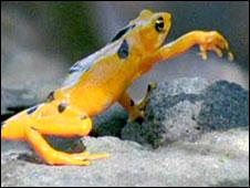 Golden frog. Image: BBC