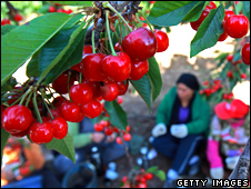 Cherry orchard in the Golan Heights