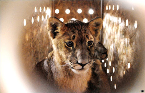 A lion cub in Braila, Romania Wednesday June 4, 2008 belonging to animal rights foundation Vier Pfoten (Four Paws) transferred nine lion cubs.