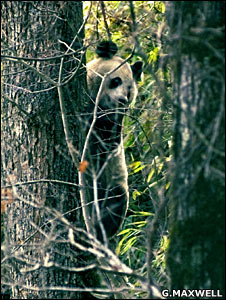 Panda (Gavin Maxwell)