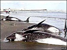 File photo of beached melon-nosed whales in Japan