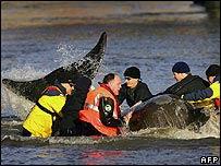 Operación de rescate de ballenas