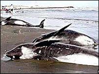 Ballenas varadas en Madagascar