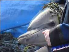 Dolphin being rescued