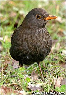 Blackbird. Image: John Harding / BTO