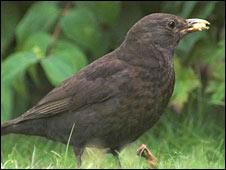Blackbird. Image: Rob Robinson / BTO