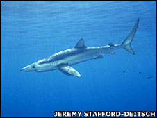 Blue shark. Image: Jeremy Stafford-Deitsch