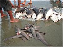 Pescador cortando aletas de tiburón (imagen cortesía de Oceana/LX)