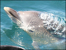 Dolphin calf off the Pembrokeshire coast. Photo by Adrian Shephard