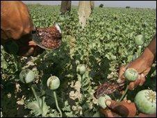 Afghan opium crop