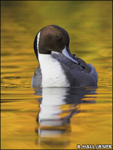 A pintail  (Image: Ben Hall/RSPB)
