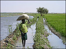 Mali rice paddy