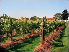 Vines in Sussex