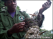 Ranger with collection of snares removed from the park (Image: WildlifeDirect)