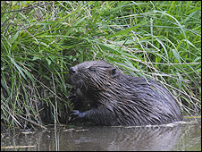 Beaver at Escot Park - picture: Ben Lee Photo Imagery