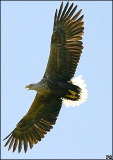Sea eagle in flight (Iain Erskine /PA Wire)