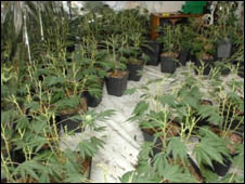 Some of the cannabis plants recovered by the drugs squad