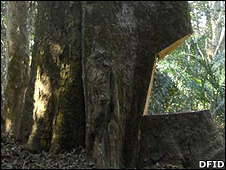 Chainsaw-damaged tree (Image: DfID)