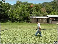 Cultivo de coca en Ayacucho, Perú.