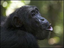 Chimpanzee in Uganda (courtesy Florian Moellers)