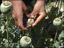 Harvesting poppies in Afghanistan