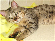 Savannah cat generic