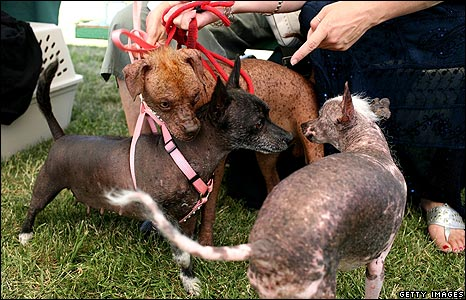 44768046 dogs getty466 - worlds ugliest dog