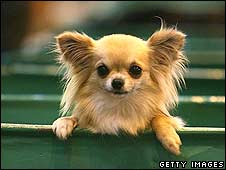 Chihuahua Coco at Crufts this year