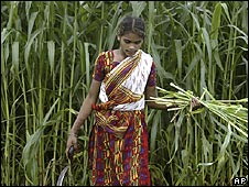 Indian woman harvesting grass for livestock feed